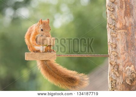 female red squirrel holding a peace of wood