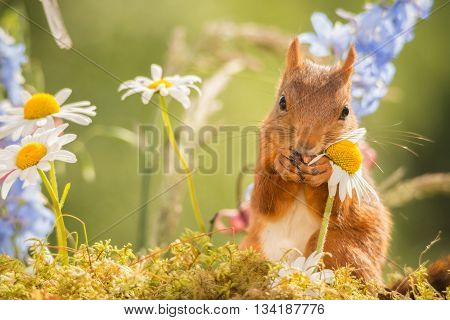 red squirrel is holding a flower in sun