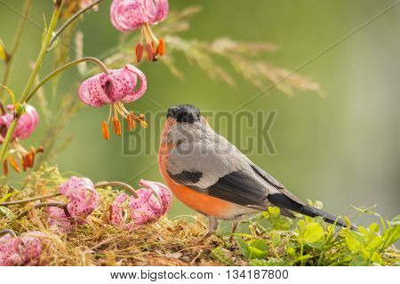 male bullfinch standing with and under flowers
