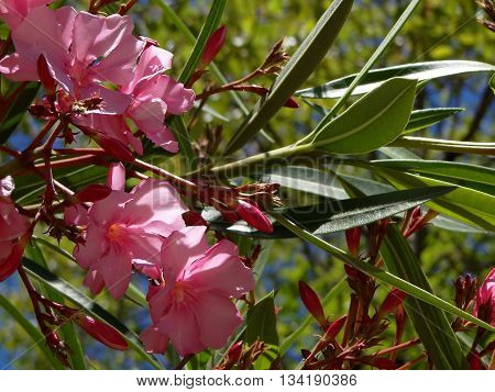 Magnolia, beautiful pink flower growing on a tree