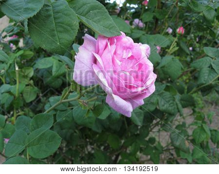 Pink rose on the bush abot green leafs.