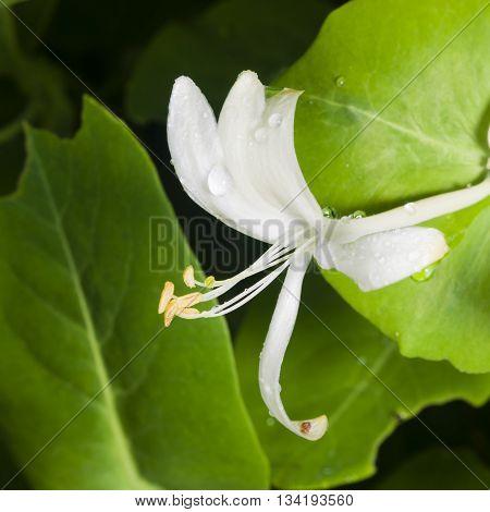 Italium Woodbine or Goat-leaf Honeysuckle Lonicera caprifolium flower with raindrops macro selective focus shallow DOF
