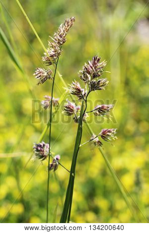 close photo of cat gass (Dactylis glomerata)
