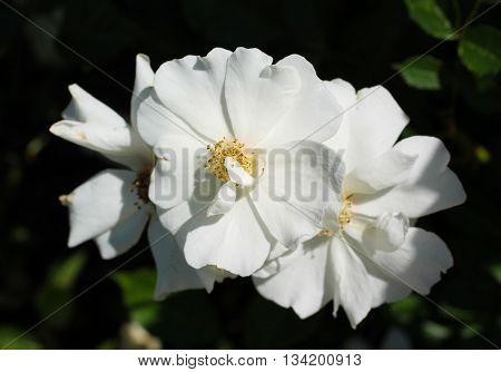close photo of three nice white blooms of eglantine