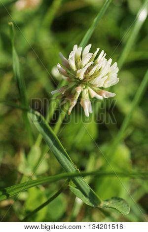 close photo of white bloom of trifolium