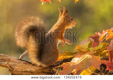 red squirrel with moss and leaves in light