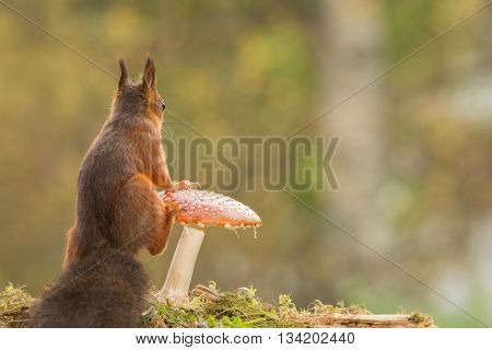 red squirrel with a mushroom and moss