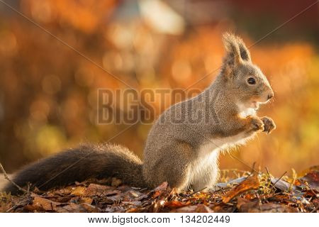 red squirrel is standing on leaves and moss