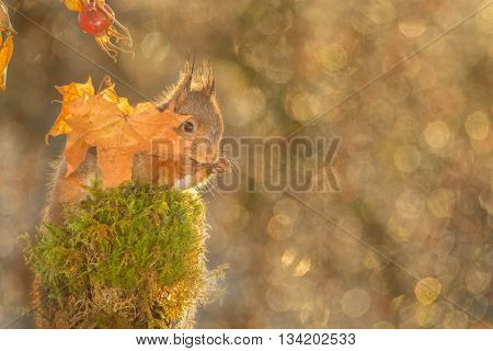 red squirrel standing on tree with moss and leaves