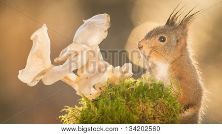 red squirrel looking at mushrooms with moss