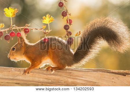 red squirrel with branch with gooseberries in sun