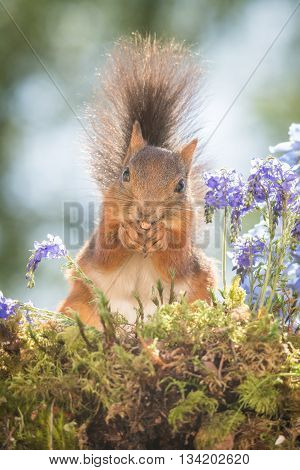 red squirrel is standing between flowers on moss
