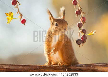 red squirrel with branches gooseberries on tree