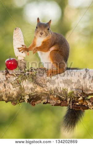 red squirrel standing on tree with apple and mushroom