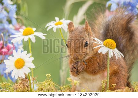 red squirrel is standing between flowers with moss