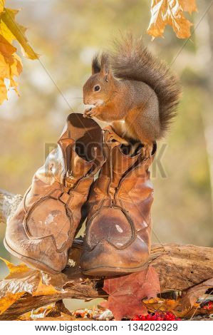 red squirrel standing on shoes with leaves