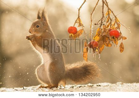 red squirrel is standing on ice with drops and brier