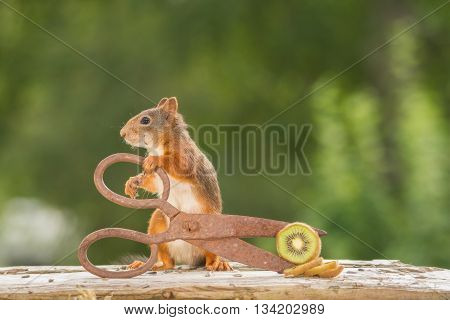 red squirrel is holding scissors with kiwi