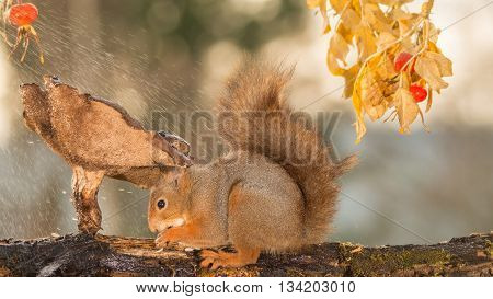 red squirrel is sheltering under mushroom with water