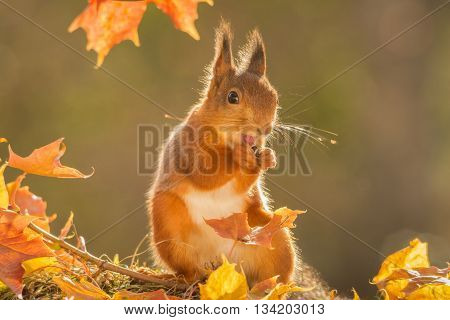 red squirrel with moss and leaves in sun