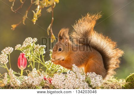 red squirrel standing with tulip and flowers