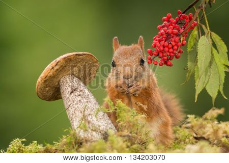 red squirrel behind a mushroom on moss