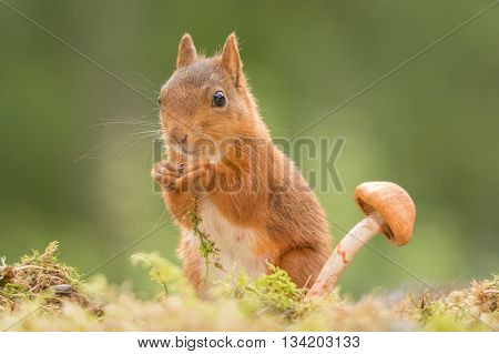 red squirrel with a mushroom on moss