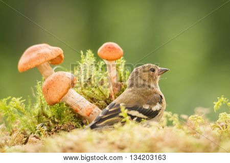 young bullfinch standing with mushrooms and moss