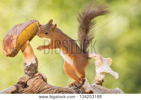 red squirrel investigating a mushroom on trunk