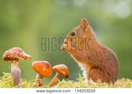 red squirrel on moss with mushrooms and light