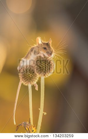 mouse is standing on a flower in light