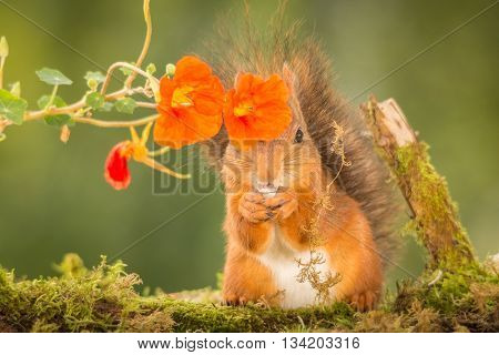 red squirrel is standing behind flowers on moss