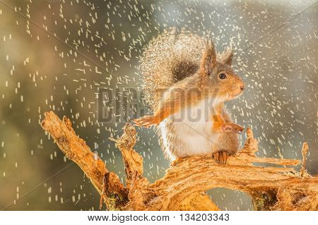 red squirrel is standing in rain on trunk