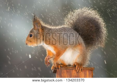 red squirrel is standing in rain and light