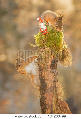red squirrels standing on tree with moss and santa