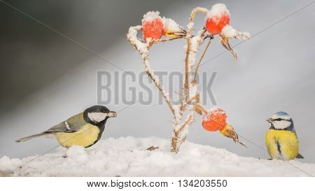 two titmouse standing in snow with brier