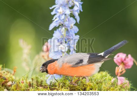 male bullfinch is standing with flowers and moss