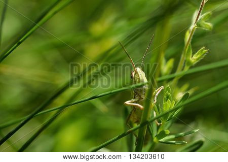 The green grasshopper sits on a grass. The little grasshopper. insect eats a grass. Grasshopper in a garden.