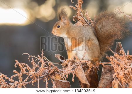 red squirrel standing on branch with frozen leaves