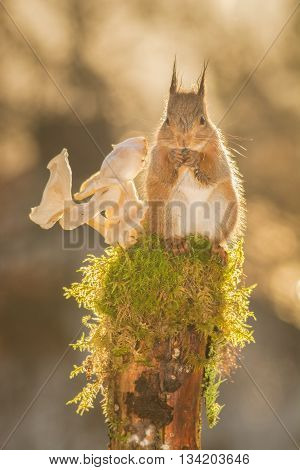 red squirrel standing on tree with moss and mushrooms