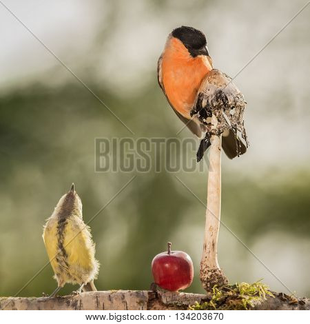 bullfinch and titmouse standing with apple and mushroom