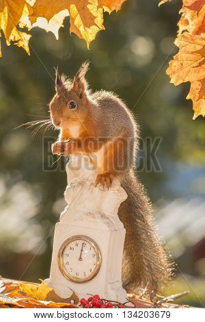 red squirrel standing on clock with leaves