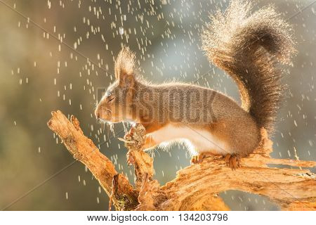 red squirrel on tree trunk in rain