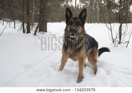 Dog on snow in winter day and forest