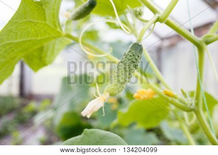 Growing Young Cucumber In A Glasshouse
