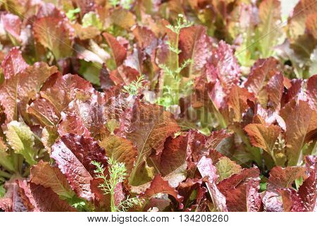 Leaves of salad in garden, natural background