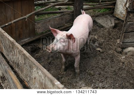 Portrait of a little funny piglet on a farm/Little piglet/Little funny piglet on a farm