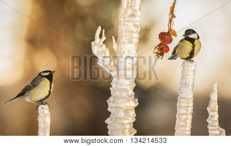 titmouse standing on icicle with brier hanging