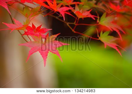 Colorful Red Maple Leaves with Green Background in Autumn