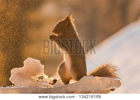 red squirrel silhouette on snow an ice with water dropping